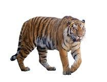 Τίγρη που απομονώνεται μεγάλη στο λευκό Στοκ φωτογραφία με δικαίωμα ελεύθερης χρήσης
