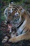 Τίγρη που απολαμβάνει το μεσημεριανό γεύμα Στοκ Εικόνα