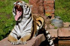 Τίγρη που παρουσιάζει δόντια στην προεξοχή Στοκ Εικόνα