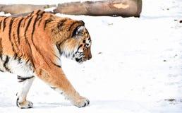 Τίγρη που περπατά μέσα από το αριστερό Στοκ Εικόνες