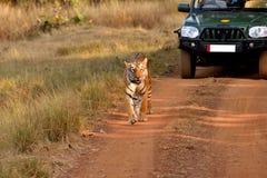 Τίγρη που περπατά στο δρόμο Στοκ Εικόνες