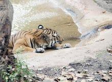 Τίγρη που στηρίζεται στην καυτή θερινή ημέρα Στοκ εικόνες με δικαίωμα ελεύθερης χρήσης