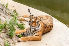 Τίγρη που στηρίζεται στη φύση κοντά στο νερό Στοκ εικόνα με δικαίωμα ελεύθερης χρήσης