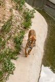 Τίγρη που στηρίζεται στη φύση κοντά στο νερό Στοκ Εικόνα
