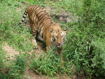 Τίγρη που τρώει τη χλόη στοκ φωτογραφίες