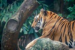 Τίγρη που φαίνεται κάτι Στοκ εικόνα με δικαίωμα ελεύθερης χρήσης