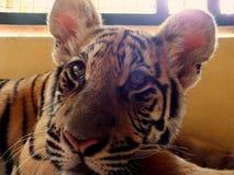 Τίγρη που ψάχνει ένα γεύμα Στοκ Εικόνα