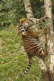 Τίγρη σε ένα δέντρο στοκ φωτογραφία