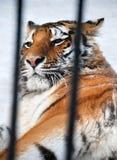 Τίγρη σε ένα κλουβί Στοκ εικόνες με δικαίωμα ελεύθερης χρήσης
