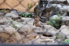Τίγρη σε Ταϊλανδό Στοκ φωτογραφία με δικαίωμα ελεύθερης χρήσης