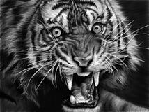τίγρη σκίτσων Στοκ Εικόνες