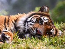 Τίγρη στην ανάπαυση στοκ εικόνα