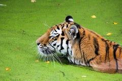 Τίγρη στη λίμνη Στοκ Εικόνες