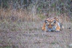 Τίγρη στη δολοφονία του τρόπου Στοκ εικόνα με δικαίωμα ελεύθερης χρήσης