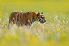 Τίγρη στις ανθίσεις Ανθισμένο λιβάδι με την τίγρη Τίγρη με το μεταλλικό θόρυβο και τα κίτρινα και ρόδινα λουλούδια Σιβηρική τίγρη Στοκ Εικόνα