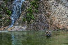 Τίγρη στον καταρράκτη στοκ εικόνες