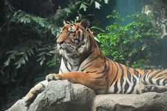 Τίγρη στο βράχο Στοκ φωτογραφία με δικαίωμα ελεύθερης χρήσης