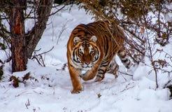 Τίγρη στο δάσος Στοκ φωτογραφία με δικαίωμα ελεύθερης χρήσης
