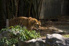 Τίγρη στο ζωολογικό κήπο Chiang Mai Στοκ φωτογραφία με δικαίωμα ελεύθερης χρήσης