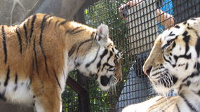 Τίγρη στο ζωολογικό κήπο Στοκ φωτογραφία με δικαίωμα ελεύθερης χρήσης