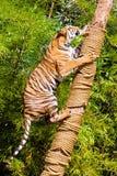 Τίγρη στο κυνήγι Ζωολογικός κήπος Khao Keo Ταϊλάνδη Στοκ Φωτογραφίες