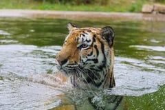 Τίγρη στο νερό Στοκ φωτογραφία με δικαίωμα ελεύθερης χρήσης