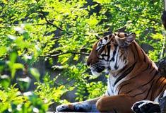 Τίγρη στο πράσινο υπόβαθρο Στοκ Εικόνες
