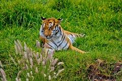 Τίγρη στο ρολόι Στοκ Εικόνες