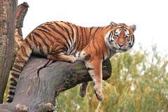τίγρη Τίγρης panthera altaica amur Στοκ Φωτογραφίες