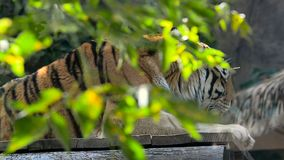 Τίγρη της Βεγγάλης πίσω από την πρασινάδα απόθεμα βίντεο