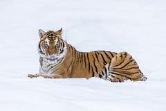 Τίγρη της Βεγγάλης στο χιόνι Στοκ Φωτογραφίες