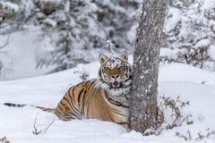 Τίγρη της Βεγγάλης στο χιόνι Στοκ φωτογραφίες με δικαίωμα ελεύθερης χρήσης