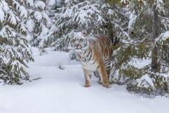 Τίγρη της Βεγγάλης στο χιόνι Στοκ εικόνες με δικαίωμα ελεύθερης χρήσης