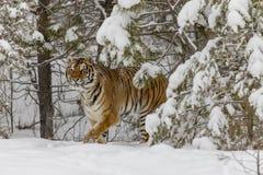 Τίγρη της Βεγγάλης στο χιόνι Στοκ Εικόνες