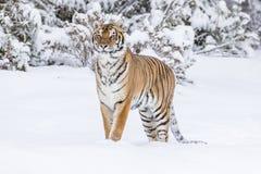 Τίγρη της Βεγγάλης στο χιόνι Στοκ εικόνα με δικαίωμα ελεύθερης χρήσης