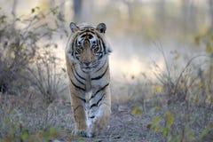 Τίγρη της Βεγγάλης Στοκ φωτογραφία με δικαίωμα ελεύθερης χρήσης