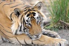 Τίγρη της Βεγγάλης Στοκ εικόνα με δικαίωμα ελεύθερης χρήσης