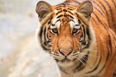 Τίγρη της Βεγγάλης. Στοκ Εικόνες
