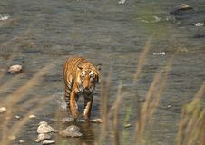 τίγρη της Βεγγάλης στοκ εικόνα