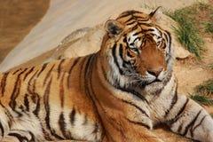 τίγρη της Βεγγάλης Στοκ Εικόνες