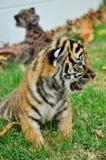 Τίγρη της Βεγγάλης μωρών Στοκ Εικόνες