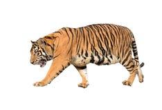 Τίγρη της Βεγγάλης που απομονώνεται Στοκ φωτογραφία με δικαίωμα ελεύθερης χρήσης