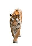Τίγρη της Βεγγάλης που απομονώνεται Στοκ εικόνες με δικαίωμα ελεύθερης χρήσης