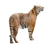 Τίγρη της Βεγγάλης που απομονώνεται Στοκ εικόνα με δικαίωμα ελεύθερης χρήσης