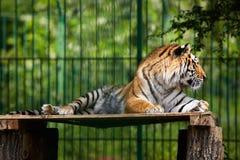 Τίγρη της Βεγγάλης που καταψύχει έξω Στοκ Φωτογραφίες