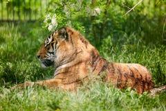 Τίγρη της Βεγγάλης που καταψύχει έξω Στοκ φωτογραφίες με δικαίωμα ελεύθερης χρήσης