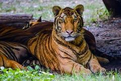 Τίγρη της Βεγγάλης στο δάσος Στοκ εικόνα με δικαίωμα ελεύθερης χρήσης