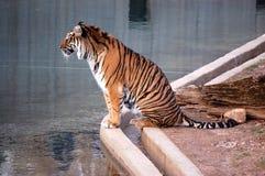 Τίγρη της Βεγγάλης στο ζωολογικό κήπο του Washington DC Στοκ Φωτογραφία