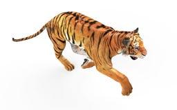 Τίγρη της Gal που απομονώνεται στο άσπρο υπόβαθρο με το ψαλίδισμα της πορείας απεικόνιση αποθεμάτων