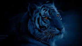 Τίγρη τη νύχτα με τα καμμένος μάτια